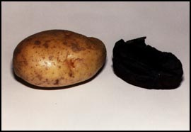 """... thrice baked potato"""" shown here with a potato baked for only a"""